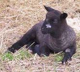 natural colored Coopworth lamb